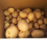 待ちに待ったじゃが芋の収穫 大きなお芋がゴ~ロゴロ!