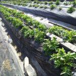 今日の畑は玉ねぎの肥料やり~!