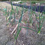 畑の野菜たちが目を出した!
