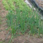 玉ねぎ植えの予定が雨降りで中止、晴耕雨読で家の中。