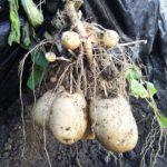 じゃが芋の収穫 試し掘りで初体験!
